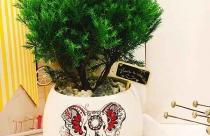 Ý nghĩa cây Tùng bồng lai trong phong thủy